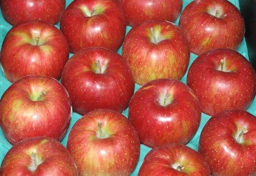 【訳あり】長野産 りんご シナノスイート 大玉10kg24個〜28個 入