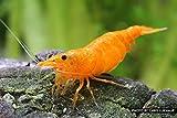 garnelio Naranja Fire Gamba–10Unidades