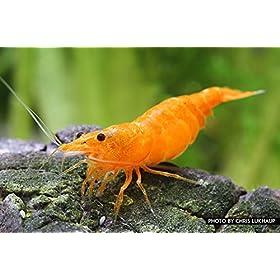 Orange Fire Garnele Neocaridina davidi Orange Fire