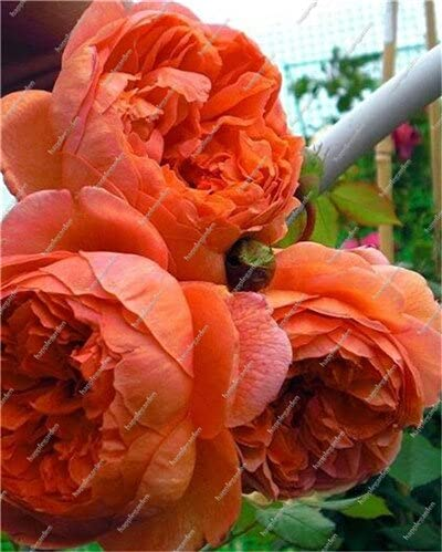 10 pcs Chinese Peony Tree Seed Plant for Balcony Garden Flowers, Exotic Paeonia suffruticosa Wedding Decoration - (Color: 5)