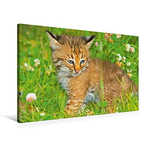 CALVENDO Premium Textil-Leinwand 90 x 60 cm Quer-Format Hallo Süßer – Niedliches Luchsbaby sitzt im Gras, Leinwanddruck Verlag