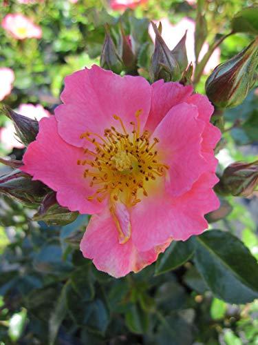 Baumschule Pflanzenvielfalt Rosa Pretty Girl® - Bodendecker-Rose Pretty Girl®