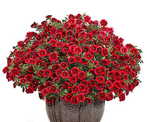 100 graines/Lot, Rouge carmin Calibrachoa Petunia Annual Semences comme Morning Glory Fleur pour maison balcon Jardin