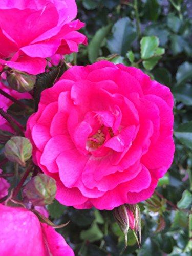 20x Bodendeckerrosen pink Bodendecker winterhart mehrjährig Bodendecker Rosen Rosa Noatraum reich blühende robuste Rose Sommerblüher (20x 1 Liter Topf)