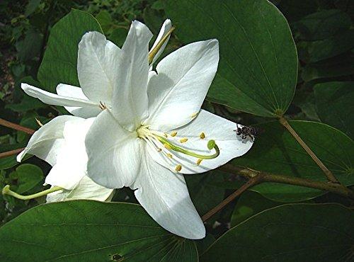 Bauhinia Acuminata,white flowering Bauhinia, 10 graines