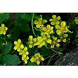 Keshang Semillas de Flores, BOI paño de Cocina semilla Garden-Seed_500g,Floración de Flores aromáticas