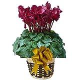 フリンジ ディープレッド さかもと園芸 達人 シクラメン 花鉢 鉢花 ギフト プレゼント 贈答品 クリスマス お歳暮