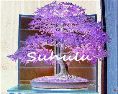 20 semillas de arce azul chino raro bonsái arbol semillas de arce bonsai plantas árboles para macetas, macetas de flores semillas de arboles 15