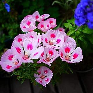Godetia Sybil Seeds 30+ Farewell to Spring Wildflower - Clarkia Amoena for Garden Yard Outdoor New