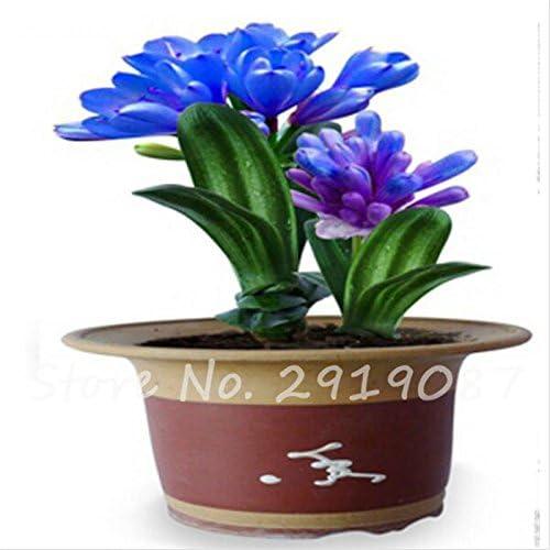 Exotiques Clivia Graines de plantes en pot Diy, intérieur Pot Seed Couleurs multiples Pour Choisir Bonsai Usine Maison et jardin Décor 100 Pcs 3