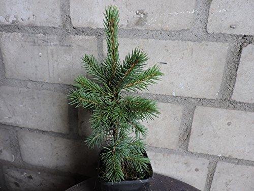 10 Stk. Blaufichte - Blautanne - (Picea pungens glauca)- Topfware 15-25 cm