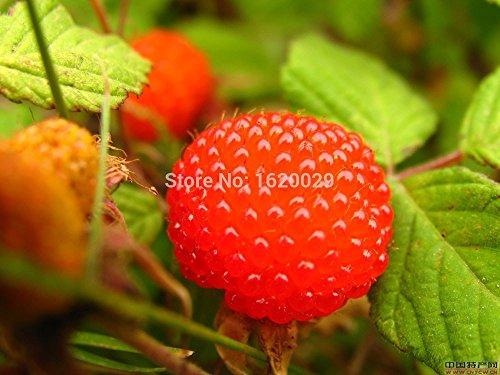 100% de haute qualité Framboise semences 3000pcs 5 couleurs de Super Big Framboise Graines de fruits Graines pots de fleurs Strawberry bonsaï Blackberry