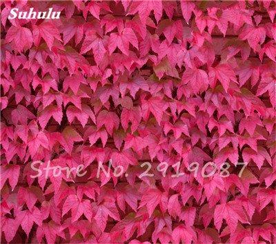 50 Pcs mixte Boston Seeds 100% vrai Parthenocissus tricuspidata semences de plantes en plein air QUASIMENT soins décoratifs Escalade de plantes 6
