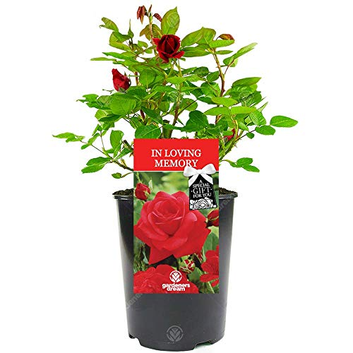 in Loving Memory Rose - Memorial and Remembrance Unique Living Plant Gift