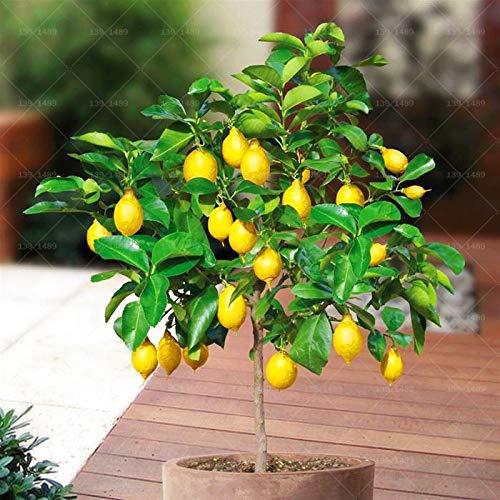 GETSO 10pcs Citron bonsaïs Agrumes Arbre Nain Citron Limón Fruits bonsaï Plantes d'arbres fruitiers pour Jardin Plantation Plante en Pot