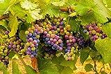 Fruit Grape Seeds 20 / Pack Kyoho Grape Seeds...