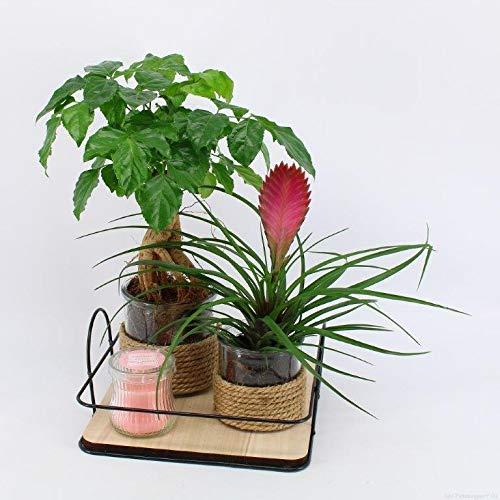 Kamerplanten van Botanicly – 2 × Moederdag cadeau! Bloeiende Tillandsia + Rademachera + een geurkaars op een hip plantenplateau in pot 'Typ 1' als set – Hoogte: 30 cm, mix 3 – Radermachera