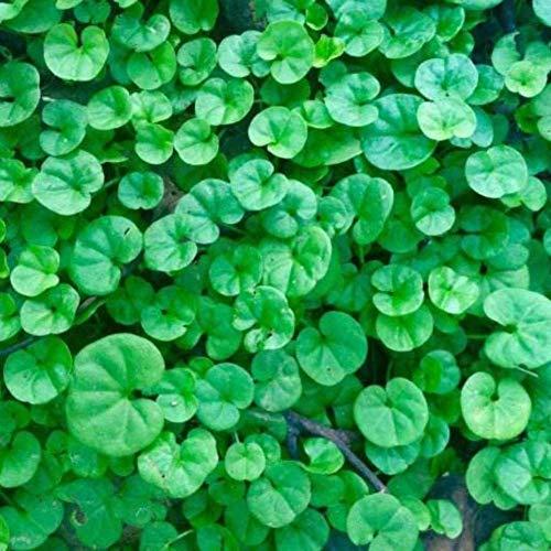 Promotion! graines 100PCS Dichondra Repens gazon Hanging Jardin des Plantes décoratives Bonsai facilement en pot 100% Vrai semences