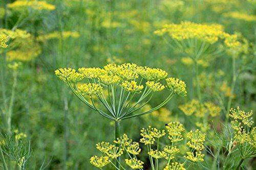 Dill (Bouquet) - 100 + Samen - Küchenkräuter
