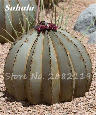 100 Pcs mixte vrai Cactus Seeds, Mini Cactus, Figuier, Graines Bonsai fleurs, vivaces herbes Plante en pot pour jardin 8