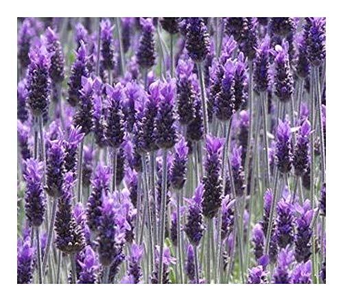 Lavandula dentata - Französischer Lavendel – Grüner Zahn-Lavendel - 20 Samen