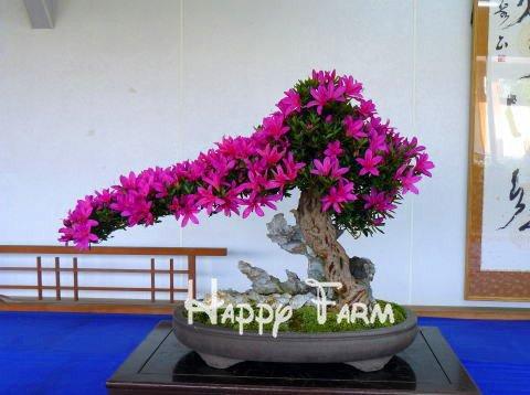 Jolie Bonsai petite plante, Graines Mini pot Rose Cherry Tree 10 Piece / sac