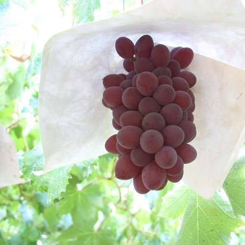 (2kg箱) サニールージュ 女性好み 山梨県産 赤いルージュカラー 種なし葡萄