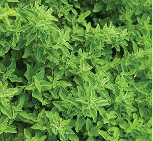 Be super welcome Oregano SẸẸDS for Plạnting Italian - Popular overseas Heir
