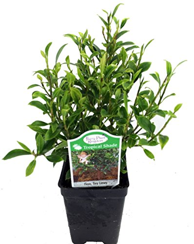 Tiny Limey Weeping Fig - Ficus - 2.5' Pot - House Plant or Bonsai