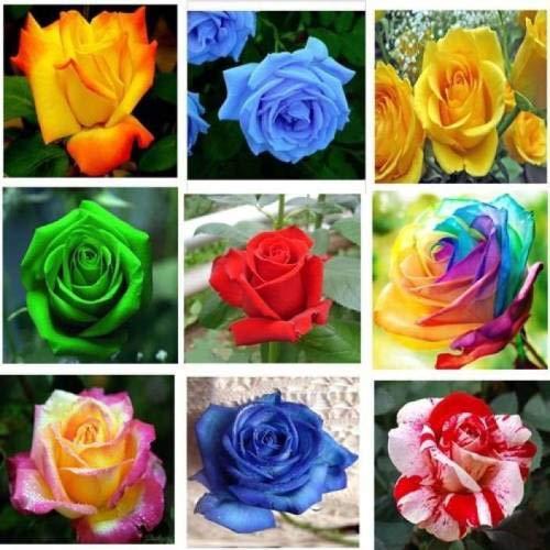 GEOPONICS Rose importato 9 Tipi Rose (tutto mix 99) dei semi (99 per pacchetto)
