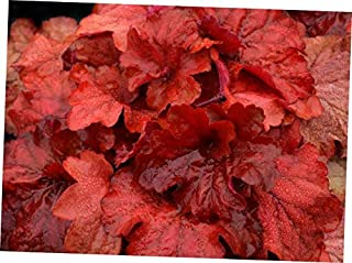 red heuchera