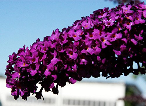 Sommerflieder Schmetterlingsflieder rote Blüte Sommerflieder Royal Red Buddleja davidii Royal Red Containerware 40-60 cm hoch