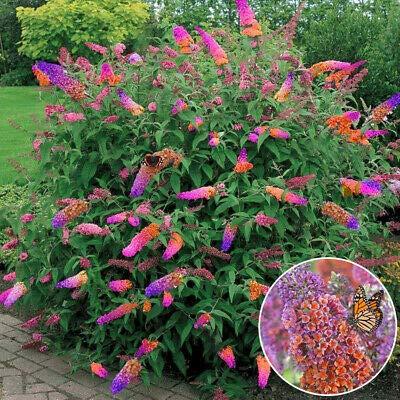 Qulista Samenhaus - Rarität 200pcs Stamm Sommerflieder Zwerg Schmetterlingsflieder Bienenfreundlich Blumensamen winterhart mehrjärhig für Beete, Terrassen und Balkone