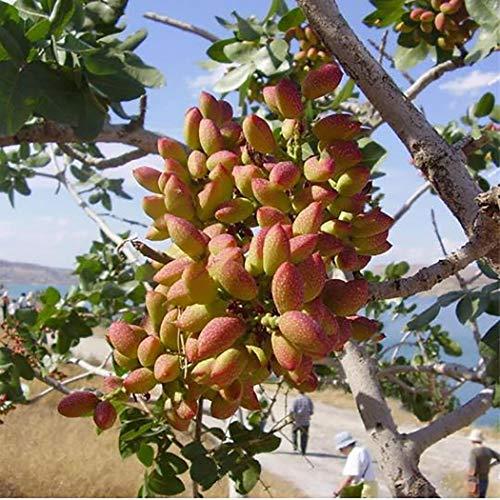 Olodui1 Samenhaus 10Stücke/paket Pistazien Samen Garten Outdoor Nuss Samen Pflanzen Samen