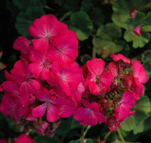 15 graines - Géranium Maverick Rose