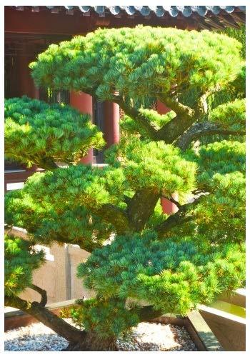 TROPICA - Pin blanc du Japon (Pinus paviflora) - 12 graines- Résistant au froid