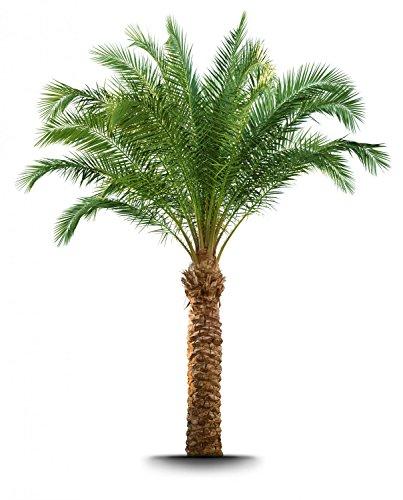 Wallmonkeys WM355476 Palm Tree Peel and Stick Wall Decals (24 in H x 19 in W), Medium