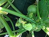 semi zucchina tonda toscana