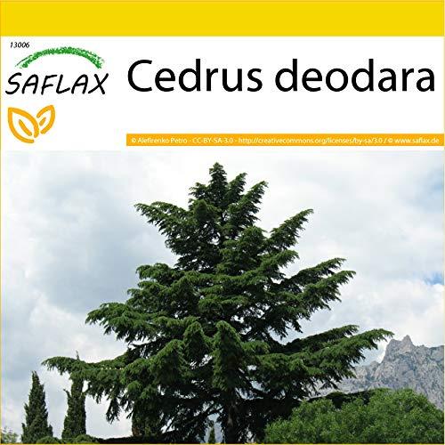 SAFLAX - Anzucht Set - Himalaya Zeder - 35 Samen - Mit Mini-Gewächshaus, Anzuchtsubstrat und 2 Töpfen - Cedrus deodara