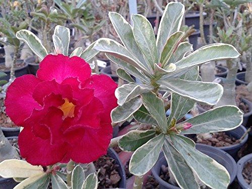 Variegated Rosy Adenium Obesum (Desert...