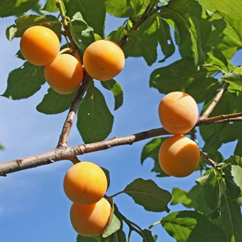 'Mirabelle de Nancy' Plum Patio Fruit Tree in a 5L Pot 90-110cm tall