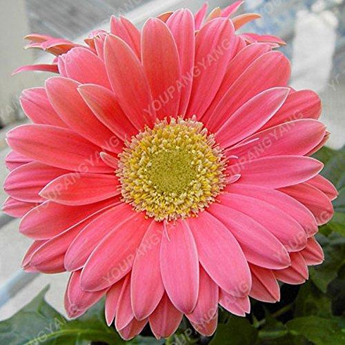 200pcs / paquete caliente Gerbera Semillas Semillas en maceta Crisantemo Flores en Bonsai bricolaje plantas del jardín con la capacidad fuerte para crecer 1