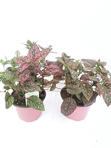 Two Fairy Garden Hypoestes Confetti, Red Polka Dot Plant Only From Jm Bamboo