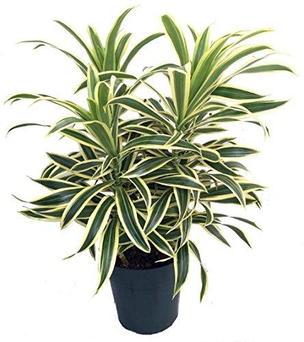 Song of India Dragon Tree - Pleomele - Dracaena -6' Pot-Easy to Grow House Plant