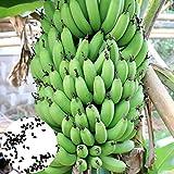 Lot de 100 graines de bananier à haut rendement pour plantes vivaces de balcon ou bonsaï