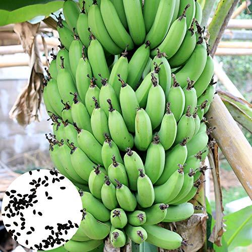 Planta Flor Fruta Semilla 100pcs/Bag Plátano Plantas Semillas Fuerte Supervivencia Alto Rendimiento Balcón Perenne Bonsai Plántulas para Granja - Semillas de Plátano