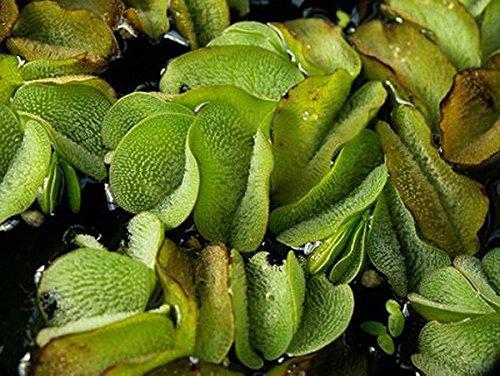 ZAC Wagner Büschelfarn - Teichpflanzen Teichpflanze Schwimmpflanzen