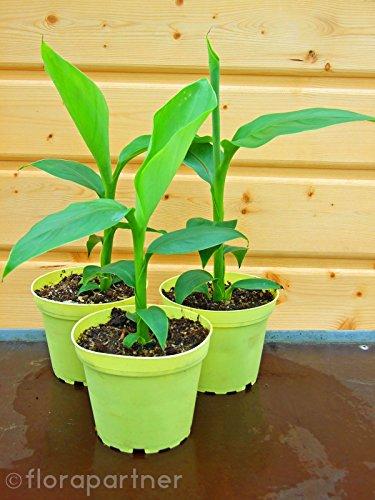 Winterharte Banane Musa basjoo 2stk./Pflanze