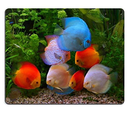 Mausunterlage Naturkautschuk Mousepad Discus Symphysodon Multi farbige Buntbarsche im Aquarium der Süßwasserfisch gebürtig zum Amazonasbecken