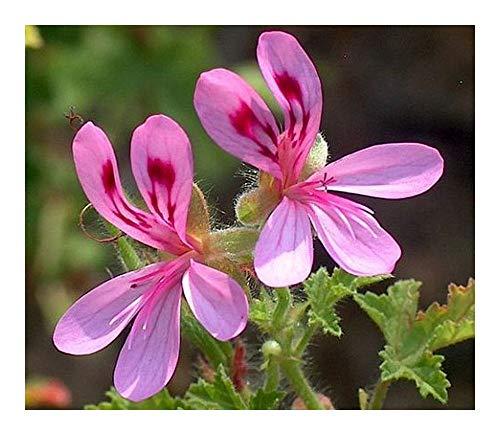 Pelargonium glutinosum - Duftpelargonie - 5 Samen